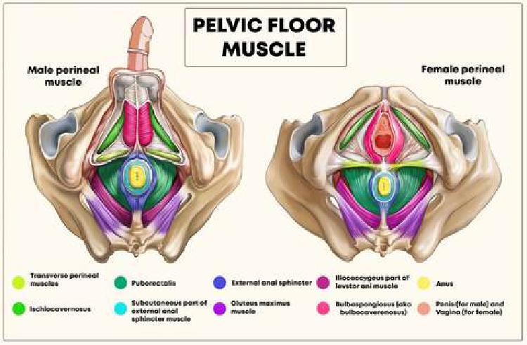 Svaly pánevního dna (angl. popis, zdroj: https://www.yamunausa.com/blogs/womens-wisdom/your-pelvic-floor-muscles