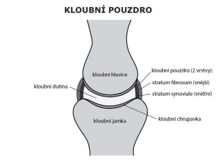Zjednodušená stavba kĺbového puzdra (kĺbová hlavica a kĺbová jamka)