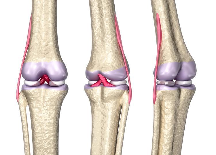 Väzy (na obrázku červeno) pomáhajú spájať k sebe kosti aj svaly.